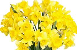 Aquarelle - Ramo de flores en oferta: 40 narcisos con jarrón de regalo