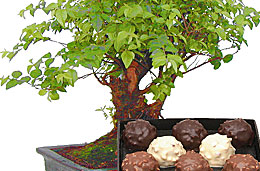 Descuento especial de Bonsáis con caja de bombones de regalo en la oferta de la semana dedicada al Día del Padre en Aquarelle