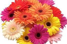 Ramo de 30 Gerberas multicolor por tan sólo 25€ en la oferta semanal de la floristería online Aquarelle
